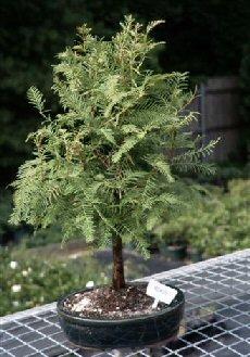 Bonsai Boy's Redwood Bonsai Tree metasequoia glyptostroboides