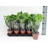 Maranta leuconeura Kerchoveana' 30 cm GRÜNE Korbmarante - Marante - Pfeilwurz Zimmerpflanze