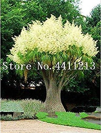 Atemberaubend Suchergebnis auf Amazon.de für: akazie Baum - Gartenarbeit: Garten @PG_48