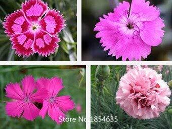 Klar: Verkauf von Blumensamen Dianthus...