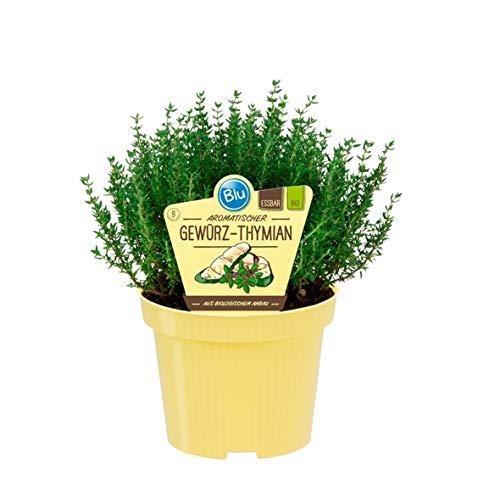 Bio Thymian Gewürzthymian (Thymus vulgaris), Kräuter Pflanzen aus nachhaltigem Anbau, (1 Pflanze)