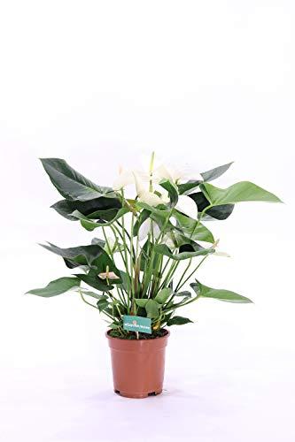 pianta da interno di Anthurium fiore bianco v17