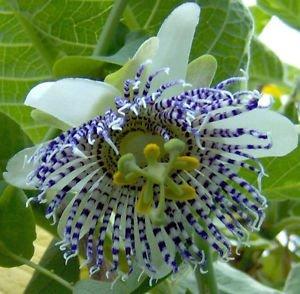 Passiflora Actinia | Fleur de la passion | 20_Seeds