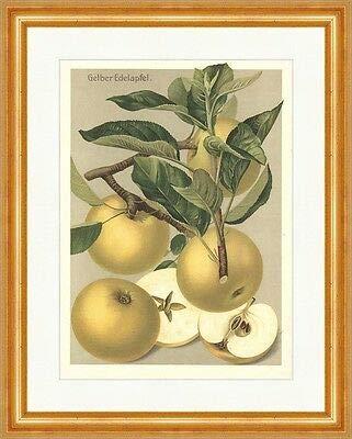 Kunstdruck Gelber Edelapfel Goden Noble Glasrenette Plattapfel Obstsorten 05 Gerahmt