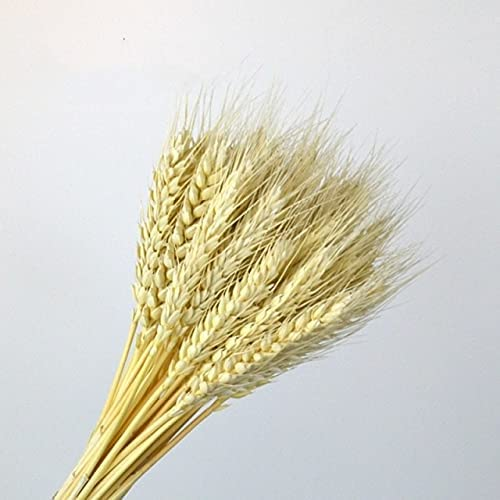 Thecookie Real Wheat Ear NEW before selling ☆ Fleurs for Dried Flowers Weddin Natural Inventory cleanup selling sale
