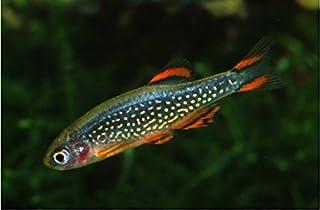 【熱帯魚・コイの仲間】 ミクロラスボラ・HANABI ■サイズ:1.5cm± (5匹)