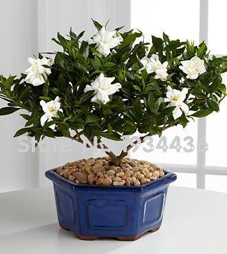 11.11 Sur Sale-- 100 Graines Gardenia (Cape Jasmine) -DIY jardin en pot Bonsai, étonnante odeur et de belles fleurs, Shippi gratuit
