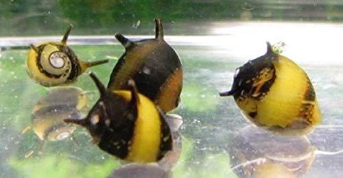 Polar Bear's Pet Shop HOT! 5 Horned Nerite Snails Small Live Freshwater Aquarium Fish