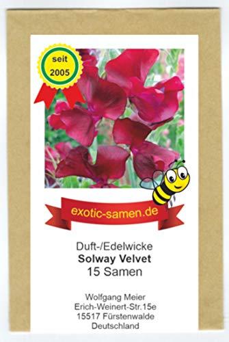 Edelwicke - Duftwicke - Bienenweide - Solway Velvet - bis 120 cm - 15 Samen …