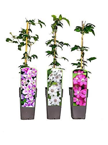 3er Sortiment Clematis MIX Weiß-Pink-Violett Kletterpflanzen Piilu Miss Bateman Ville de Lyon großblütig mehrjährig winterhart 30-50cm