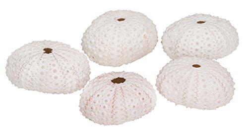 NaDeco Seeigel Gehäuse weiß 5 Stück ca. 4cm Dekoseeigel Seeigelgehäuse Echinometra mathaei Riffdach Bohrseeigel Maritime Dekoration