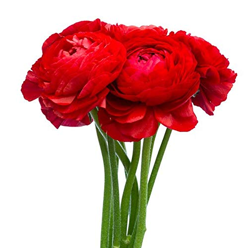 UtopiaSeeds 12 Red French Peony Ranunculus Corms