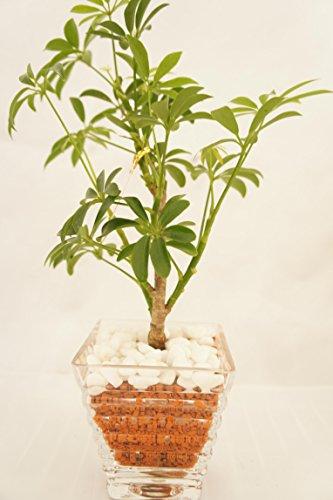 【お手入れ簡単、無菌・無臭の園芸用土 茶瓦 使用】 ハイドロカルチャー 観葉植物 茶瓦 ガラス製ギザギザベースL 白石大