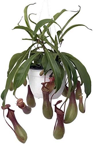 Nepenthes Seeds D/écoration de No/ël Red Catkoo Graines,20pcs Nepenthes Graines Jardin Balcon Toit Bonsai Plantes Carnivores Pichet Cuisine Appropri/ée Salon Jardin Balcon 20PCS