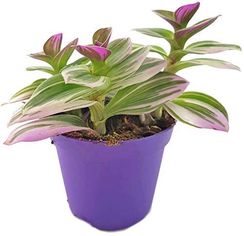 Fangblatt - Tradescantia fluminensis 'tricolor' - zauberhafte Ampelpflanze - Dreimasterblume - dreifarbige Grünpflanze Dekoration