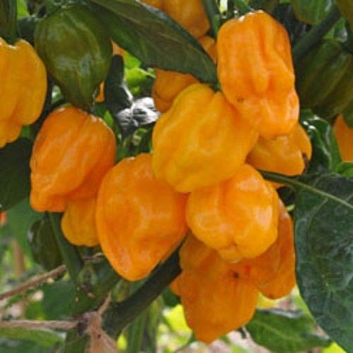 Portal Cool Chilli Numex Suave orange Habanero - 10 Selected Seeds