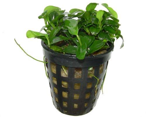 5 Töpfe Anubia barteri var. nana 'Petite', Aquariumpflanzen