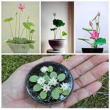 . Las Semillas de Loto: 15 Semillas de Flores Plantas Semillas Semillas para Mini macetas de jardín [Home Garden Semillas Eco Pack] Semillas de la Planta