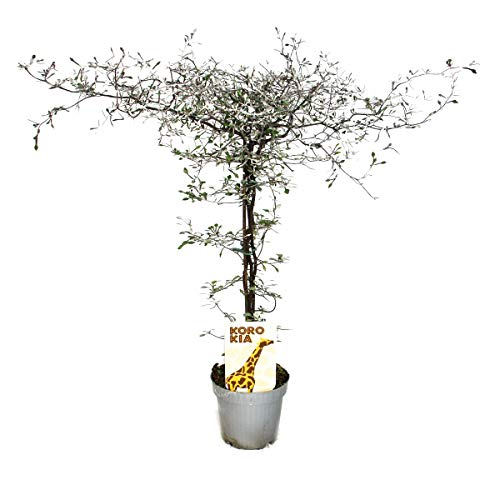 Corokia cotoneaster - Zick-Zack-Strauch - Schnurbaum