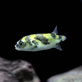 (熱帯魚)淡水南米フグ(約4cm)<1匹>[生体]