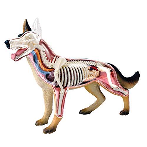 BIUYYY Scientific Animal Anatomy - Modelo De Anatomía del Perro Lobo Rompecabezas De Juguete Desmontable Biología Modelo De Enseñanza Médica