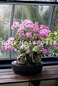 Vistaric 100% original de alta calidad 10 unids color mixta Bougainvillea spectabilis Willd Seeds semillas de flores bonsai planta