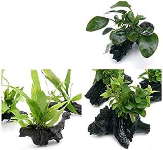 (水草)置くだけ簡単 水草付き流木3種セット(ミクロ・アヌビアス・有茎草)