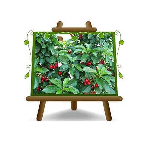 Zwergkirsche New Star - Obstpflanze auf Blumentopf 20 - Baum max 170 cm – 2 Jahre Anbau Italien