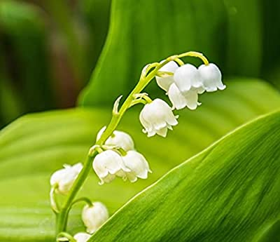 Lily of The Valley Flower Roots - Pack of 5 Roots - One of The Most Popular Spring Flowers, Unmatched in The Garden. - Country Creek LLC by Country Creek Llc
