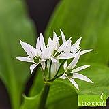 aglio orsino (allium ursinum) (semente)