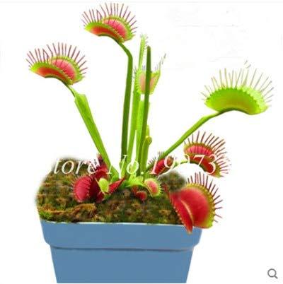 Shopmeeko Graines: Bonsai 100 Pcs/Sac Moucherolle Rare Rillettes Mixte insectivores Bonsai Plante Dionaea géant clip Dionée bateau libre: 10