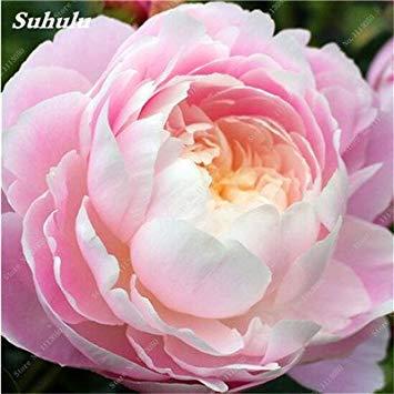 True Color mélange Graines Pivoine jardin Fleurs vivaces Fleurs en pot Graines de plantes ornementales de jardin Bonsai-10 Pcs 12