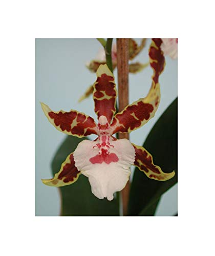 Stk - 1x Colmanara Jungle Monarch Multiflower grün braun Orchidee OW50 - Seeds Plants Shop Samenbank Pfullingen Patrik Ipsa