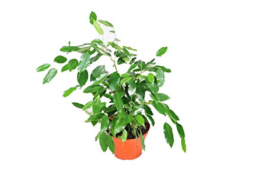 Weeping Fig Tree - Ficus Benjamina - 6'' from California Tropicals