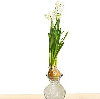 Van Zyverden 87279 Paper White Kit-with Clear Artisan Glass Flower Bulbs, 19/+,