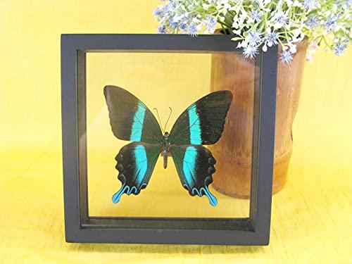 asiahouse24 Un verdadero exótico diseño de mariposa Papilio Blumei en marco de fotos, cuadro de pared, exhibidor de entomología, taxidermie