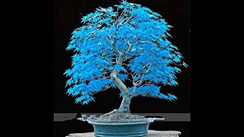 Dichondra 20pcs Blue Japanese Bonsai Maple Tree Seeds