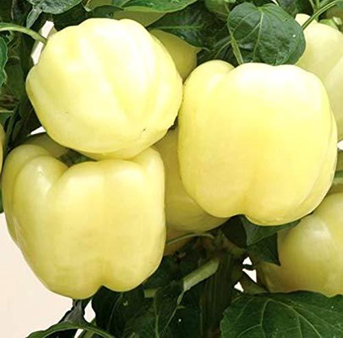 Best bell pepper seedlings