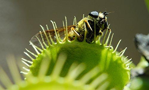 20 frische und hochwertige Samen der Venusfliegenfalle - die Dionaea muscipula ist eine faszinierende fleischfressende Pflanze für Wohnung und Garten - ein natürlicher Fliegenfänger