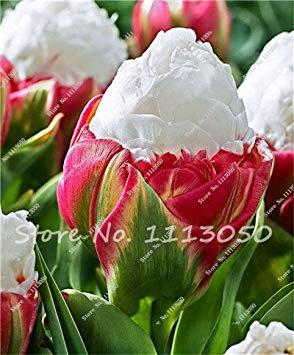 Fash Lady Le Plus Populaire Popula 50 graines de Tulipes (Pas de bulbes de Tulipes) Bonsai Flower Seed Ice Cream comme de Belles Tulipes Rizomas Seed Aroma Plante en Pot 1