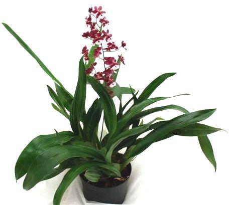 1 blühfähige Orchidee der Sorte: Oncidium Sharry Baby, 16cm Topf