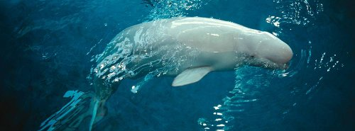 The Poster Corp Panoramic Images – Close-up of a Beluga whale in an aquarium Shedd Aquarium Chicago Illinois USA Photo Print (91,44 x 33,02 cm)