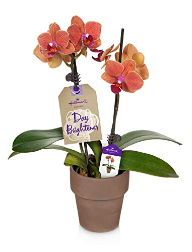Orchid Flower Plant, Salmon in 3-Inch Terra Cotta Container, From Hallmark Flowers