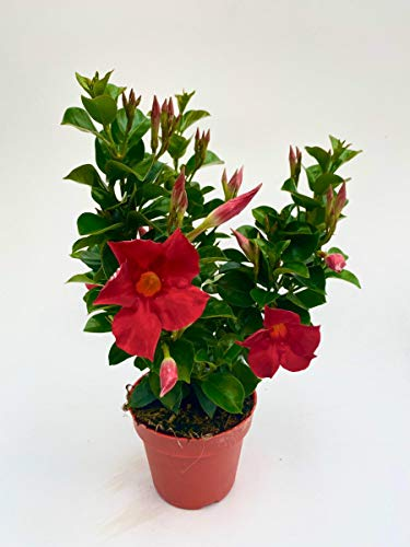 Dipladenia Sundaville, mediterrane Kletterpflanze, Rot im 13 cm Topf