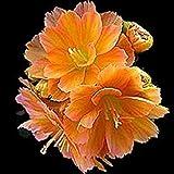 HONIC Samen-Paket: 20 Lewisia cotyon 'Praline'. breite orangefarbener Farbbereich, GROSSER in Containern