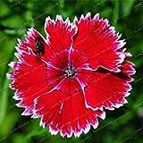 ホームガーデンのための100PCS 100PCS色とりどりのカーネーションの種Barbatus種子Perennia花の種子屋外プラント