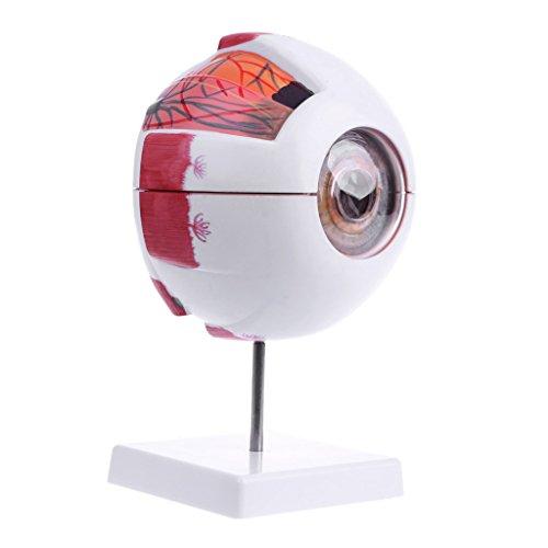 Tandou menschliches anatomisches natürliches Augenball-Modell Medizinische Lernhilfe Lehrinstrument