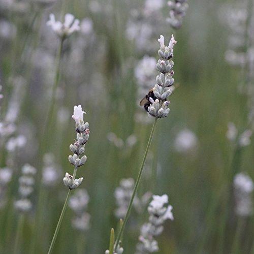 Blumixx Stauden Lavandula angustifolia 'Alba' - Weißer Lavendel im 0,5 Liter Topf weiß blühend