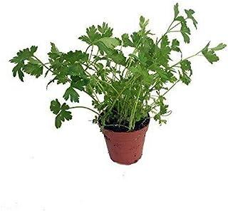 "Herb Plant - Live Parsley Italian Single Herb Plant - Organic Non-GMO - 1 Plants Fit 3.5"" Pot"