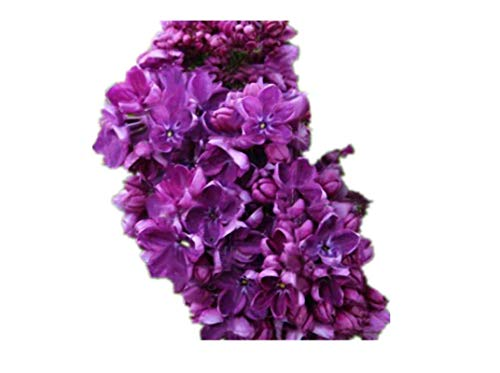 KINGDUO Egrow 100 Teile/Paket Japanischen Lila Gewürznelke Samen Garten Mehrjährige Blumen Aromatische Bonsai Pflanzen Samen
